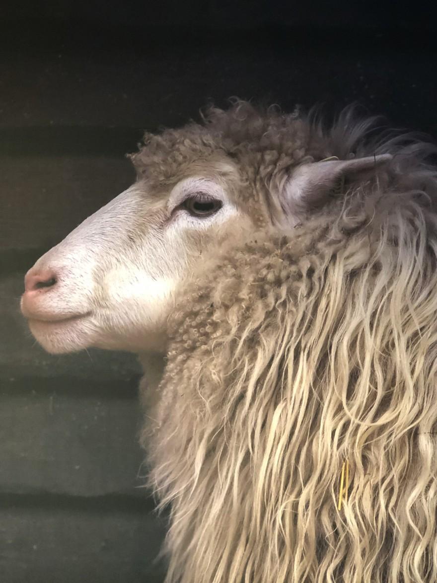Natuurlijk schapenvel voor de Lamino relax :)